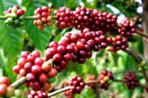 Sự tích cây cà phê
