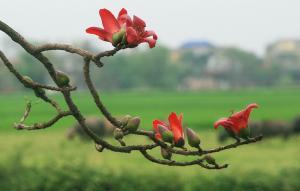 Sự tích hoa Pơ lang (hoa gạo)